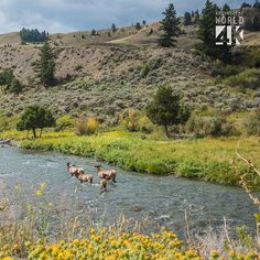 A family of deer going upstream in Yellowstone National Park (. Yellowstone National Park, National Parks, Deer, Around The Worlds, Mountains, Instagram Posts, Travel, Animals, Viajes