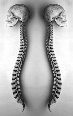 human spine and skull