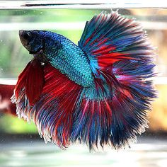 Live-Betta-Fish-Male-BIG-ONE-Turquoise-Red-Contrast-Rosetail-Halfmoon-HM