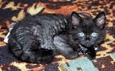 Foster kitten Chong is a snuggler.  He and his brother and have black outer fur and gray under fur.