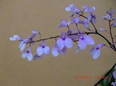 Risultati immagini per orquideas miniaturas fotos