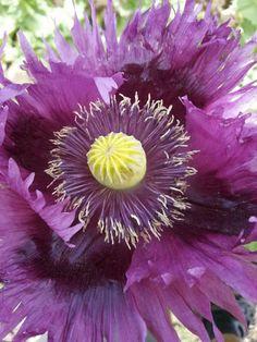Jimi's Purple Haze breadseed poppy