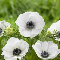 Anemone Black Eyed Beauty. No other flower can match this anemone's particular beauty. Two layers of satiny white petals surround an amazing, silvery-blue center.