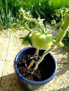 Cultivo de verduras y hortalizas en maceta