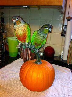 Green Cheek Conure Diet and Cage Information | Birdtricks.com