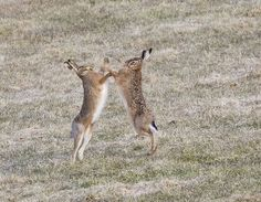 720 boxing hares IMG_7711
