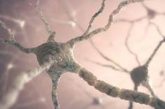 Las neuronas Crédito:siguen creciendo en la edad adulta en el cerebro humano.