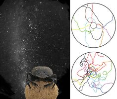 Using starlight, dung beetles travel relatively straight (lines inside top circle). But when the night sky is hidden, the beetles had much more difficulty keeping a straight path to the periphery (bottom circle). Credit: (left) Emily Baird; (right) Adapted From M. Dacke et al., Current Biology, 23 (2013)