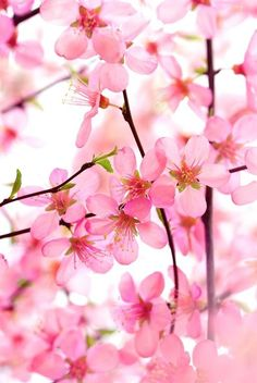Pink Dogwood Blooms / ATTRACTS: Downy Woodpeckers. Never plant near Geraniums. Plant in groups of 3. Will attract Rabbits and other mammals. Never over water, will cause root rot.  Never buy in Summer or Fall, buy in Spring only.  Never plant near Roses, Dogwood is prone to fungal disease.