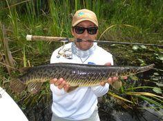 A new potential 12 lb Line Class World Record Florida Gar caught using Platypus Pre-test line! Congratulations!
