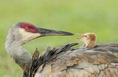 http://www.audubonmagazine.org/multimedia/2013-photo-awards-top-100   Sandhill crane, by Ursula Dubrick