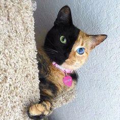 DOS GATOS EN UNO ....es una fotografía real. El nombre de esta gatita es Venus y nació en 2009, con el ADN de dos gatos separados en un cuerpo completamente adorable.
