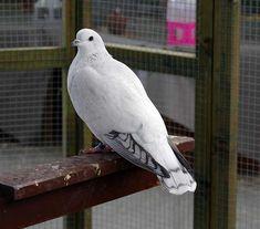 Clean legged Ice Pigeon