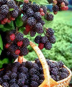 Fresh Berry Delight: Blackberry Frozen Yoghurt