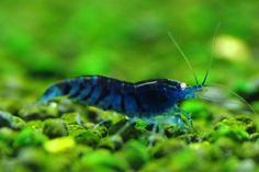 Want to learn more about Blue Tiger Shrimp? Check out the Blue Tiger Shrimp Wiki and if they are right for your aquarium. Blue Tiger Shrimp for sale Freshwater Aquarium Shrimp, Tropical Freshwater Fish, Tropical Fish, Types Of Animals, Animals Of The World, Saltwater Aquarium, Planted Aquarium, Tiger Shrimp, Blue Shrimp