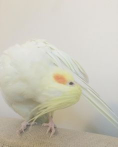 Hope you don't mind the spam  - - - - -#cockatiel #cockatiels #cockateil #cockateils #tiel #tiels #teal #bird #birds #parrot #parrots #pet #pets #animal #animals #nymphicushollandicus #quarrion #quarrions #weiro #weiros #australia #cockatielsoninstagram #cockatielsofinstagram #tielsofinstagram #tielsoninsta #cockatielsinsta by 2forevertiels http://www.australiaunwrapped.com/