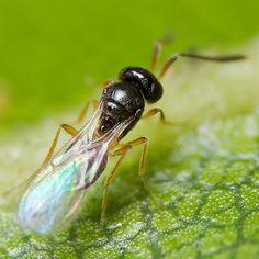 ムシをデザインしたのはダレ?: ハチ目:Teleasini, trimorus sp. ♀