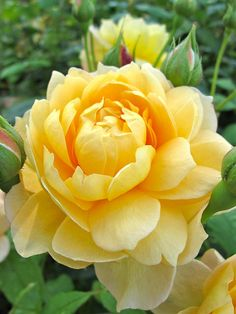Good Pics rosas amarillas Yellow Roses Popular Rose bushes tend to be the perfect method to convey sensations one might include intended for another. Pretty Roses, Beautiful Roses, All Flowers, Amazing Flowers, Exotic Flowers, Hybrid Tea Roses, Love Rose, Flower Pictures, Yellow Flowers