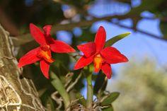 Orquídeas do nosso quintal: Sophronitis mantiqueirae