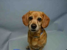 SUPER URGENT- BUDDY aka ARCHIE – A1031658 (ALT ID A1059105) **RETURNED AGAIN !!! 03/01/16** NEUTERED MALE, TAN, BEAGLE MIX, 8 yrs RETURN – EVALUATE, HOLD FOR ID Reason PERS PROB Intake condition EXAM REQ Intake Date 03/01/2016, From NY 11224,