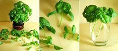 Regeneración de espárragos, ajo y albahaca | Plantas