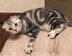 A Scottish Fold Silver Marble kitten named Gracie -