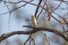 Sabota Lark, Sabotalewerik, (Calendulauda sabota) http://birdwatcher.co.za/sabota-lark-sabotalewerik-calendulauda-sabota/