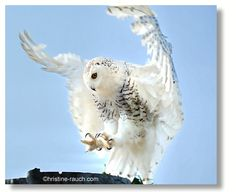 Riegersburg Owl, Birds, Animals, Photos, Castles, Animais, Animales, Animaux, Owls