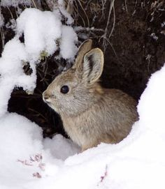 Weighing about 1 pound, the pygmy rabbit (Brachylagus idahoensis) is the world's smallest rabbit/hare. The threatened species lives in a shrinking section of the Northwestern U.S.