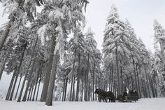 Horses pull a sledge through snow-covered woods in the eastern German ski resort of Oberhof
