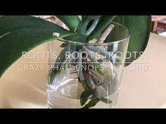 Crazy phalaenopsis orchid loves water! Root progress update! - YouTube