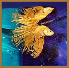 Rare Betta Fish | rare betta fish colors what are some of the really rare betta fish ...