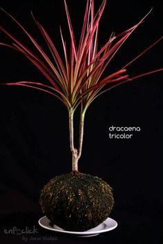Dracaena tricolor