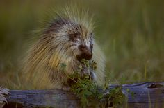 Yes, the porcupine eats foliage. But will it also eat your face? Photo: ©Janet Haas