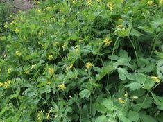 vlašťovičník větší- Chelidonium majus Samos, Life Is Good, Herbs, Plants, Style, Swag, Life Is Beautiful, Herb, Plant
