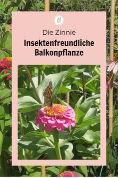 Zinnien sind absolut robuste und unkomplizierte Balkonblumen, auch für Anfänger super geeignet. Für Insekten wie Bienen und Schmetterlinge liefert sie wertvolle Nahrung. Die Zinnie liebt die Sonne – ich hatte Zinnia elegans zuletzt in meinen Blumenkästen, die pralle Mittagssonne und Wind abbekommen. Ein bisschen Dünger nimmt sie gerne, blüht aber auch ohne ausdauernd. Cluster, Super, Gardening, Plants, Balcony Plants, Summer Flowers, Ornamental Plants, Garden Plants, Insects