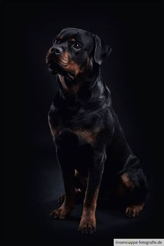 Rottweiler Foto by: https://www.facebook.com/linsensuppe.foto