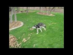 Funny Husky Compilation 2013