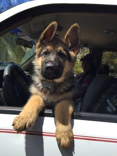 GSD Puppy-The Beast