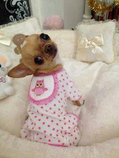 Chihuahua Sweet baby chi #Chihuahua