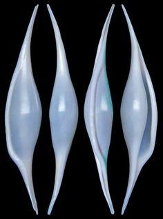Calcarovula longirostrata (Sowerby I, 1828)  -  C.Chen
