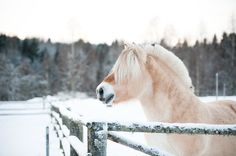 The Norwegian Fjord Horse