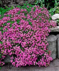 Rock Soapwort (Saponaria ocymoides 'Splendens' It flowers in great profusion, producing innumerable pinkish-red fragrant flowers Outdoor Plants, Outdoor Gardens, Potager Garden, Ground Cover Plants, Home Garden Plants, Hardy Perennials, Landscaping With Rocks, Dream Garden, Garden Inspiration
