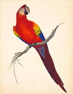 Scarlet macaw by John Reeves