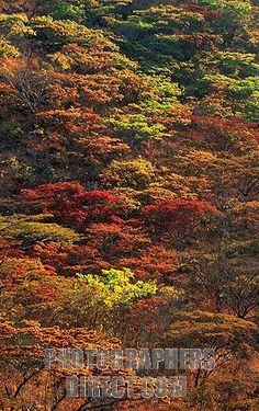 msasa trees - Brachystegia spiciformis Ian Smith, African Tree, Tree Faces, Lest We Forget, Jungles, My Land, Photo Tree, Places Of Interest, Zimbabwe