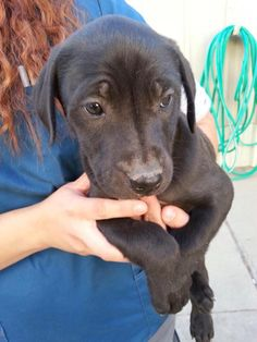 ~~ODESSA URGENT~~3 owner surrender lab puppies. 2 females one male Can anyone foster so we can get them out or would anyone like to adopt? Located at odessa, Texas animal control.