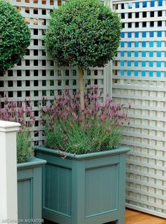 Lawenda i bukszpan: rośliny na balkon