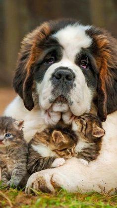 Saint bernard adopts kittens