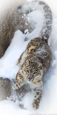 """This would be highly alarming to see in real life.  """"Attack!""""  snow leopard"""
