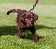 """What is the """"Right"""" Way to Train Your Lab? - Labradors.com"""